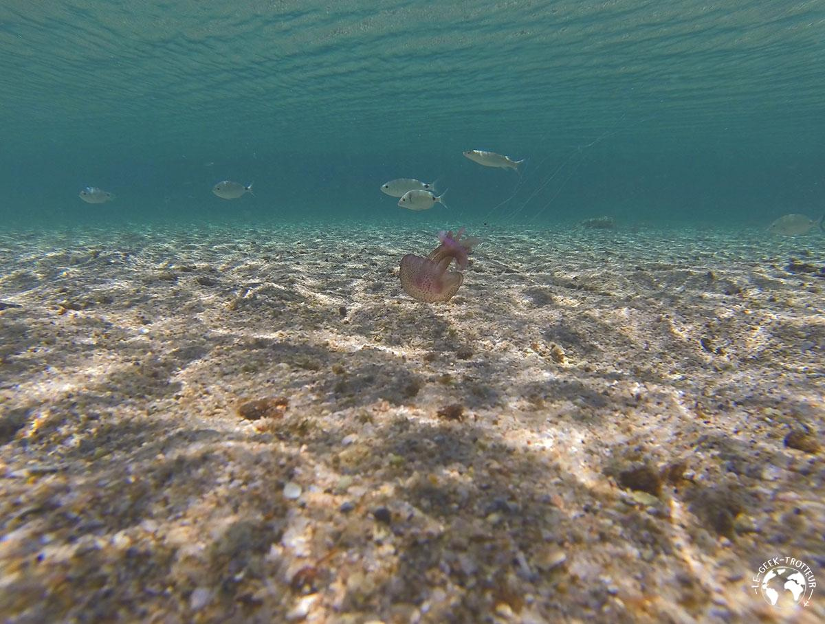 Méduse sur la plage des îles Lavezzi