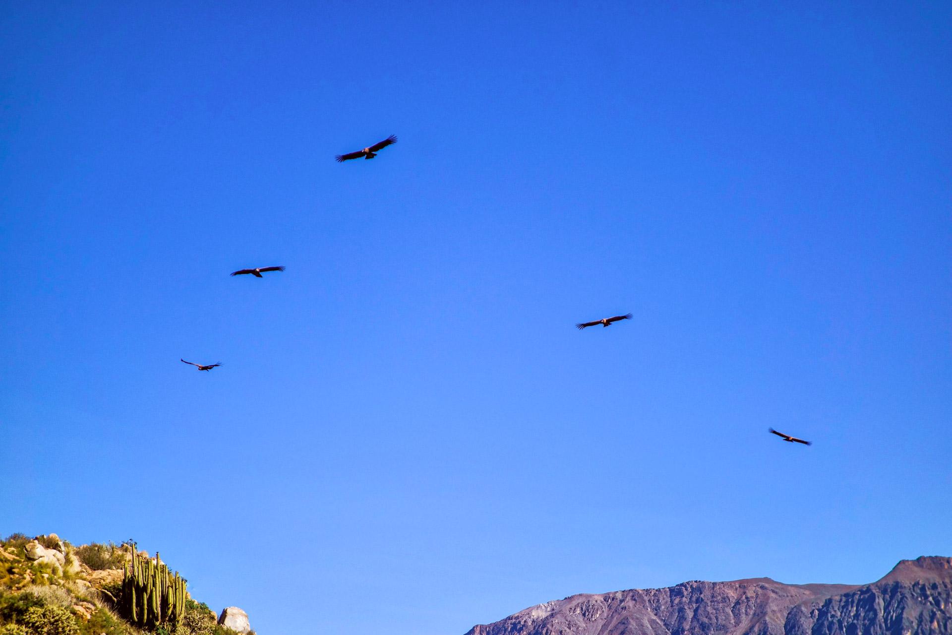 Le majestueux condor